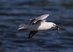 Silver Gull Larus novaehollandiae (Neil Cheshire) Tags: silvergull larusnovaehollandiae laridae mouetteargentee silberkopfmowe gaviotaplateadaaustraliana