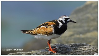 Ruddy Turnstone (Arenaria interpres) RUTU - He can turn stones but can he turn this rock?:)