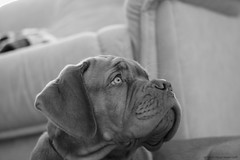 They have a ball! (Martin Werge Nissen) Tags: bw fall dof indoor maximus canon50mm18 doguedebordeaux