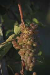 Vendanges 2015 au Vignoble des Hauts de Talmont 7
