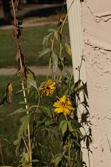 SOOC 4 (~nevikk~) Tags: dying yellowflowers myfrontyard sooc kevinekelly