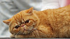 IMG_7392a_c (JANY FEDERICO GIOVANNINETTI) Tags: hairy cats cat hair eyes funny soft sweet expressions occhi international felini gatto gatti divertenti pelosi pelo dolci pedigree internazionale sguardi espressioni razza soffice soffici