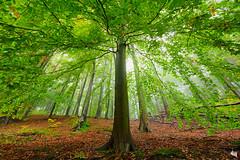 changing forests (Sandra Bartocha) Tags: autumn mist fog forest beeches europeanbeech beechforest mritznationalpark sandrabartocha unesconaturalheritagesite