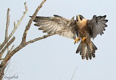 PEREGRINE FALCON (sea25bill) Tags: california morning tree bird fall animal wildlife landing raptor slough birdofprey peregrinefalcon