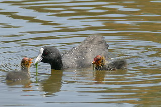 Eurasian Coot with two chicks.