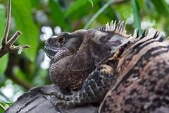 Iguane (Moymoy117) Tags: borderfx