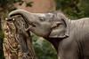 Little SUNAY (K.Verhulst) Tags: elephant rotterdam blijdorp elephants nl olifant blijdorpzoo olifanten diergaardeblijdorp sunay rotterdamzoo aziatischeolifant asiaticelephants