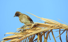 Bird (Khaled M. K. HEGAZY) Tags: blue sky brown white plant bird nature closeup nikon outdoor egypt foliage palmtree coolpix    p520 rassedr