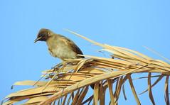 Bird (Khaled M. K. HEGAZY) Tags: blue sky brown white plant bird nature closeup nikon outdoor egypt foliage palmtree coolpix    p520 rassedr