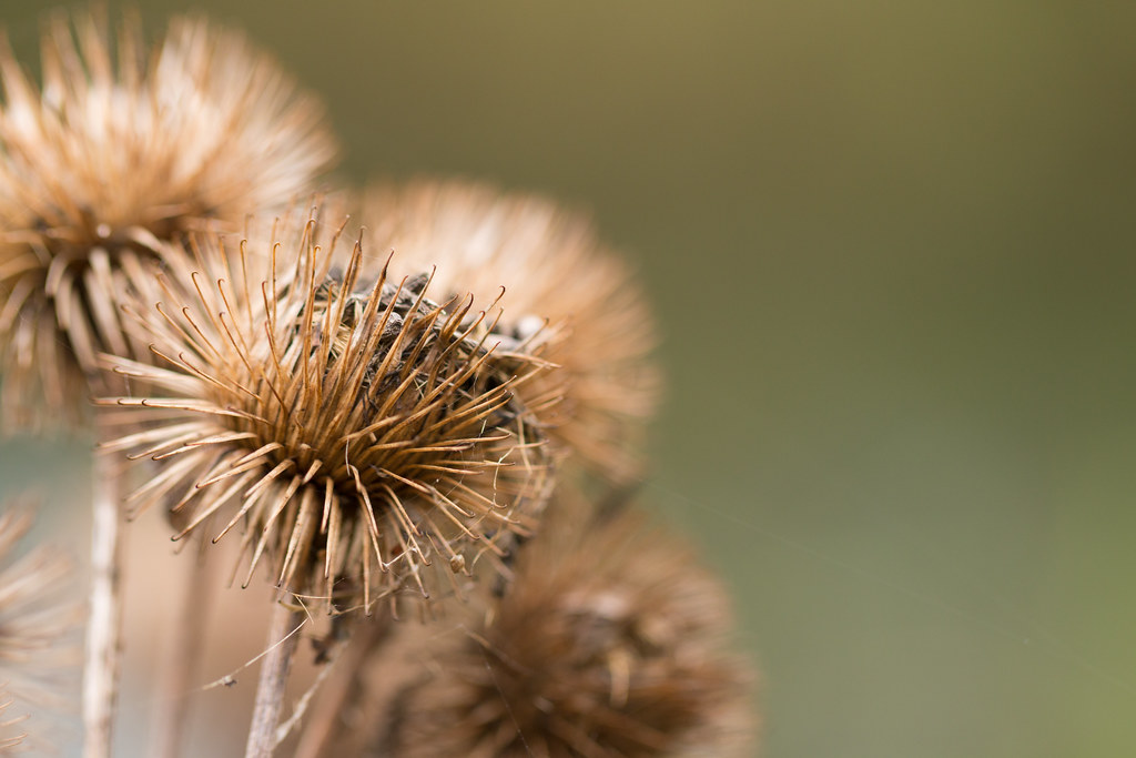 The World's Best Photos of burr and plant - Flickr Hive Mind