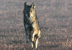 Coywolf pouncing on prey, Elbow Pond Bog, Brewster, MA 11/4/15 (petertrull) Tags: elements