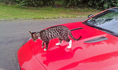 Hectors new Mascot (dodfather) Tags: samsung f type jaguar cambs dodfather
