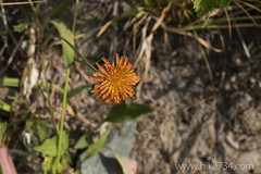 "Orange Agoseris • <a style=""font-size:0.8em;"" href=""http://www.flickr.com/photos/63501323@N07/22966555995/"" target=""_blank"">View on Flickr</a>"