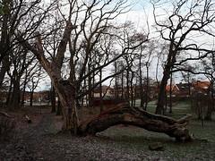 Drama queen oak (Eva the Weaver) Tags: wood tree broken oak damaged