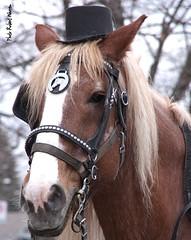 Monsieur Cheval... / Mr. Horse (Pentax_clic) Tags: horse hat cheval pentax chapeau kr decembre 2015 imgp1336 robertwarren