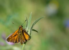 La Sylvaine - Ochlodes sylvanus -  (michel lherm) Tags: papillons ochlodessylvanus lpidoptres lasylvaine rhopalocres