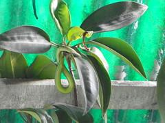 green snake (juggadery) Tags: india animal snake bengal westbengal 2015 sundarbans