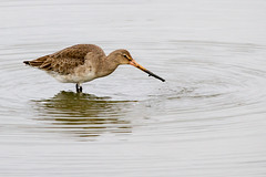 RSPB Minsmere (7d.shooter) Tags: 7d sigma canon rspb minsmere bird wader nature wildlife