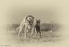 Pellegrina Glitzerflitzer (Nina) und Oochigea's Faithful (Snoopy) (faithful_whippets) Tags: ninkon d7100 windhunde whippet ital windspiel