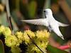Leucistic Anna's Hummingbird (larryvenus) Tags: hummingbird annashummingbird leucistic leucisticannashummingbird ucsantacruz ucsantacruzarboretum nikonphotography nikon nikond500 tamron tamron150600mmg2