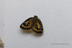 Orosanga sp. (?) (Hiro Takenouchi) Tags: papua insect indonesia nature arfak hemiptera ricaniidae orosanga