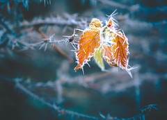 Winter is coming III (Stadt_Kind) Tags: mostinteresting popular flickr new germany bavaria kempten stadtkind olympusem10markii olympusm124028pro depthoffield doflicious dof bokehmasters bokehaddicts bokehlicious bokeh frozen frost leaves