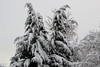 Cedar caked with snow (nikname) Tags: snow snowydays snowybranches snowytrees trees winter wintertrees citystreets