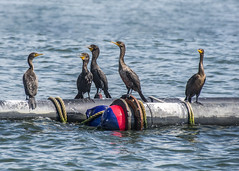 Cormorants Meeting (Daveyal_photostream) Tags: nikon nikor nature newjersey water ocean pipes rope d600 meandmygear mygearandme mycamerabag motion movement ripples outdoor cormorants birds
