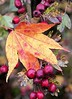 Leaf Autumn Nature Change Close-up Outdoors No People Day Beauty In Nature Maple Leaf (Emilija Micic) Tags: leaf autumn nature change closeup outdoors nopeople day beautyinnature mapleleaf