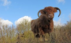 What are you doing here? (daaynos) Tags: scottish highlander animal scottishhighlander cow horn grass wood sky blue clouds trees