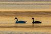 Swans on the Golden Path (Topolino70 **** Thanks for Million Views! *****) Tags: swan joutsen sunset auringonlasku sea meri suomi finland helsinki lauttasaari outdoor nature bird
