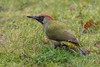 Backyard green (powerfocusfotografie) Tags: bird europeangreenwoodpecker picusviridis greenwoodpecker woodpecker specht groenespecht green vogel wildlife birdlife nature backyard natureinmybackyard henk nikond7200 powerfocusfotografie