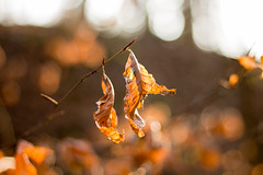 leaves (-j0n4s-) Tags: flickr art nature color bokeh bokehlicious dof colors canon canon70d canon50mm f18 plants leaf leaves cold coldseason winter 2017 goldenhour branch brown yellow red