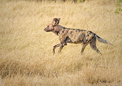 Wild Dog (rogerfscott) Tags: african wild dog hunting painted lycaon pictus canid subsaharan africa cape outdoor animal khwai moremi botswana okavango endangered rare