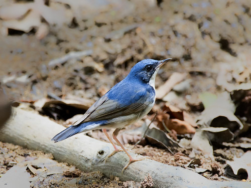 Siberian Blue Robin _ Lower Peirce Reservoir ☺