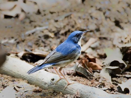 Siberian Blue Robin _ Lower Peirce Reservoir ☺