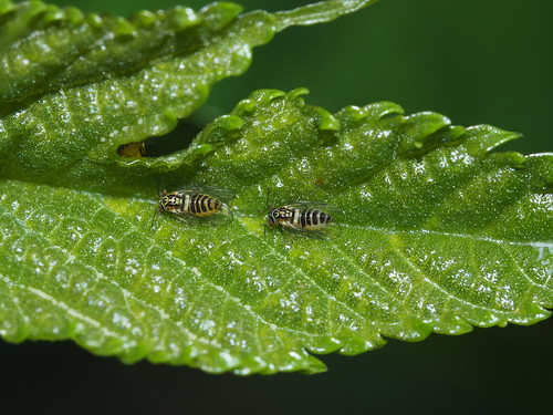 Psylloidea sp