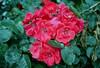 raw0018 (Dan_Khan) Tags: analog film canoneos3 canonef50mmf18stm nikoncoolscanls40 vuescan gimp flower pink kodakcolorplus200