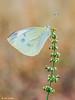 albina en flor, the observer (gatomotero) Tags: olympusomdem1 mzuiko60mm28macro butterfly mariposa flor ambiente verano