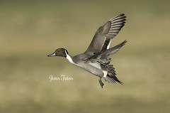 Northern Pintail Landing (Jims Fotos) Tags: 2017 eos1dx slimbridge wwtslimbridge canon flying bif waterfowl duck ef600f4 in flight northernpintail anusacuta 14extendermklll extender perfectioninphotography
