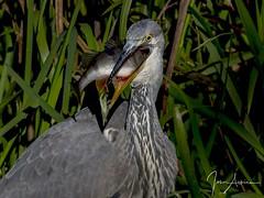 Grey Heron with Perch at Nene Park. (johnatkins2008) Tags: greyheron feeding waterside riverside lakeside nenepark ferrymeadows johnatkins2008 wildlifephotography birdphotography