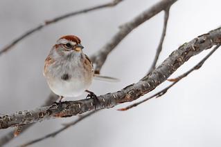 046 - Sparrow