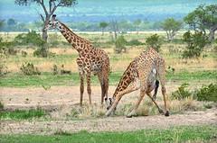 Giraffe drinking water (Ersin Demir) Tags: giraffe mammal longlegs drinkingwater nature wildlife mikumi mikuminationalpark tanzania nikond5100 nikon70300mm animal