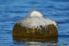 A-LUR_5598 (ornessina) Tags: trasimeno umbria byrd uccelli aironi cormorani toscana va orcia