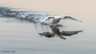Cygnus olor / Mute swan / Лебедь-шипун / Knopsvane