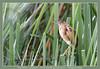 Least bittern, explored (Jan H. Boer, Nature photographer) Tags: herons nature wildlife costarica wetlands ranchohumo nikon d5200 afsnikkor200500f56eedvr jan´sphotostream2017 birds leastbittern ixobrychusexilis