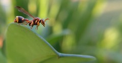 A Paper Wasp (Mobile Macrographer) Tags: mobile macrographer lgg4 smartphone photography macro diylens wasp paper insects bugs outdoor bokeh green focus cc ngc orange red yellow animals nature
