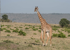 The mighty giraffe (tickspics ) Tags: africa giraffatippelskirchi iucnredlistvulnerable kenya maranorth maranorthconservancy masaigiraffe formerlygiraffacamelopardalistippelskirchi
