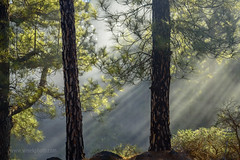 _DSC1586 (Simsekphoto) Tags: tree forrest sunset fog green spain landscape photography photo pic nikon d750 outdoor mountain