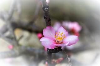 fleurs d'amandier sur l'île St Martin à Gruissan